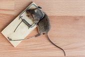 image of dead mouse  - Dead field mouse in a mousetrap close - JPG