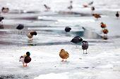 Flock Of Ducks On Frozen River