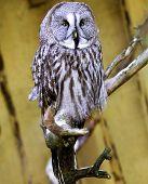 The Great Grey Owl Strix nebulosa
