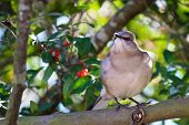 Northern Mockingbird Perched In The Thicket