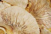 Oyster Mushroom Background