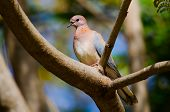 Laughing Palm Dove