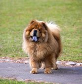 Portrait Of Chow Chow Dog