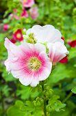 Hollyhocks Flower In The Garden