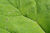 image of butterbur  - Veins of a butterbur in Leidschendam - JPG