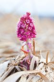 picture of butterbur  - herb Petasites officinalis first spring plant used in medicine