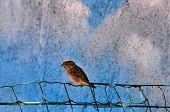 Sparrow Small Bird
