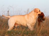 stock photo of pheasant  - a hunting yellow labrador with a pheasant - JPG