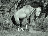 Buckskin Welsh Pony In Motion