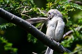 Tufted Titmouse Preening Itself