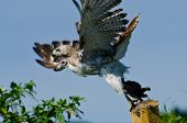 Red-tailed Hawk Taking To Flight With Captured Prey