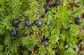 Crowberry Bush