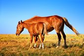 image of mare foal  - Horse Mare with Foal mother and baby Farm Animal on field with blue sky on background saving nature ecology concept - JPG