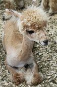 Young Alpaca (Cria)