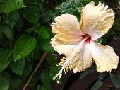 Bunga raya Flower