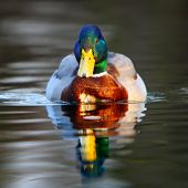 stock photo of male mallard  - Duck floating in a water with reflection