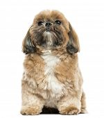 Shi tzu sitting, isolated on white
