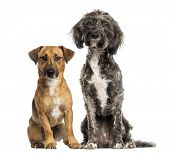 stock photo of cross-breeding  - Brittany Briard crossbreed dog and jack russel sitting together - JPG