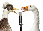 Duck and goose singing into a microphone, isolated on white