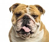 Close-up of an English Bulldog panting, isolated on white