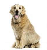 Golden retriever panting, sitting, isolated on white