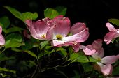 Pink Dogwood Tree Flower