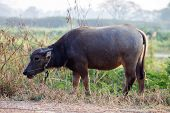 foto of female buffalo  - Close up buffalo in the field thailand - JPG