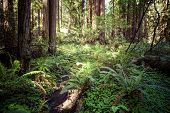stock photo of redwood forest  - Redwood national park pathway through the redwoods giants - JPG