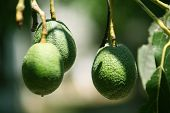 image of avocado tree  - Green avocados waiting to be picked off the tree - JPG
