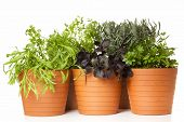 tarragon, chervil, red basil, lavender and sweet woodruff planted in pots, isolated on white