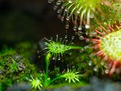 little Drosera aliciae
