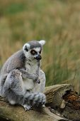 Ring Tailed Lemur (lemur Catta)