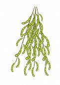 Delicious Fresh Green Soybeans On A Twig