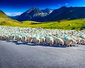 Sheeps walking on automobile road on mountains background.