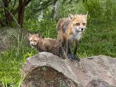Fox Mom and Baby on a Rock