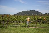 Workers pruning wine grapes in vineyard