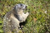 stock photo of marmot  - marmot eating flowers - JPG