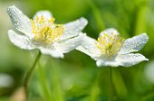 closeup of anemone flowers in the morning dew of springtime