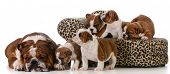 dog family - english bulldog father and five puppies isolated on white background