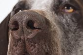dog nose close up - german shorthaired pointer