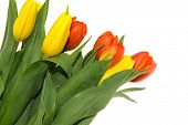 Yellow and Orange Tulip flowers on white background