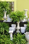 Fern plants in white pots