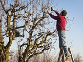 man pruning tree