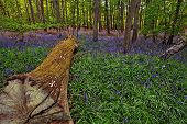 Felled tree in a bluebell wood 1