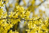 Forsythia Yellow Flowers