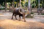 foto of carabao  - water buffalo on the sunset in Thailand - JPG