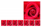 Red rose with patterned background