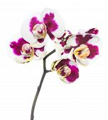 Blooming Lilac Spotty Orchid, Phalaenopsis Is Isolated On White Background