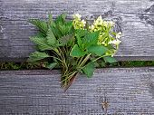foto of nettle  - Spring herbs primrose nettle bouquet captured in time nature walks.