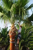Palm tree tidying, Andalusia, Spain.